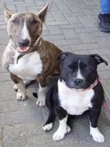 Bullterrier und Staffordshirebullterrier