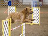 Hund beim Agility-Trainig