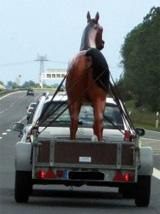 ungewöhnlicher Pferdetransport