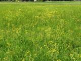 Typische, artenreiche Feuchtwiese mit Wassergreiskraut im Naturschutzgebiet Füllenbruch (Autorin: Dr. Ulrike Letschert, Biologische Station Ravensberg e.V.)